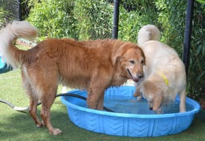Two dogs playing together in daycamp