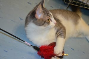 Luigi, a cat with Second Chance, plays with a cat toy