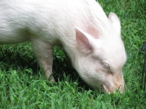 ellmer the pet pig eating grass