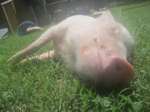 ellmer the pet pig smiles in the grass