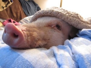 ellmer the pet pig looking cute under a blanket