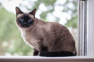 Roy siamese cat at Oberlin