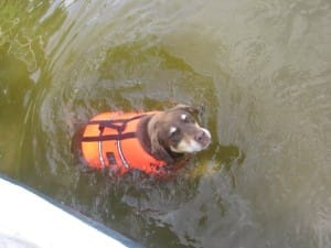 dog swimming with a life jacket
