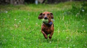 dog running with ball in mouth
