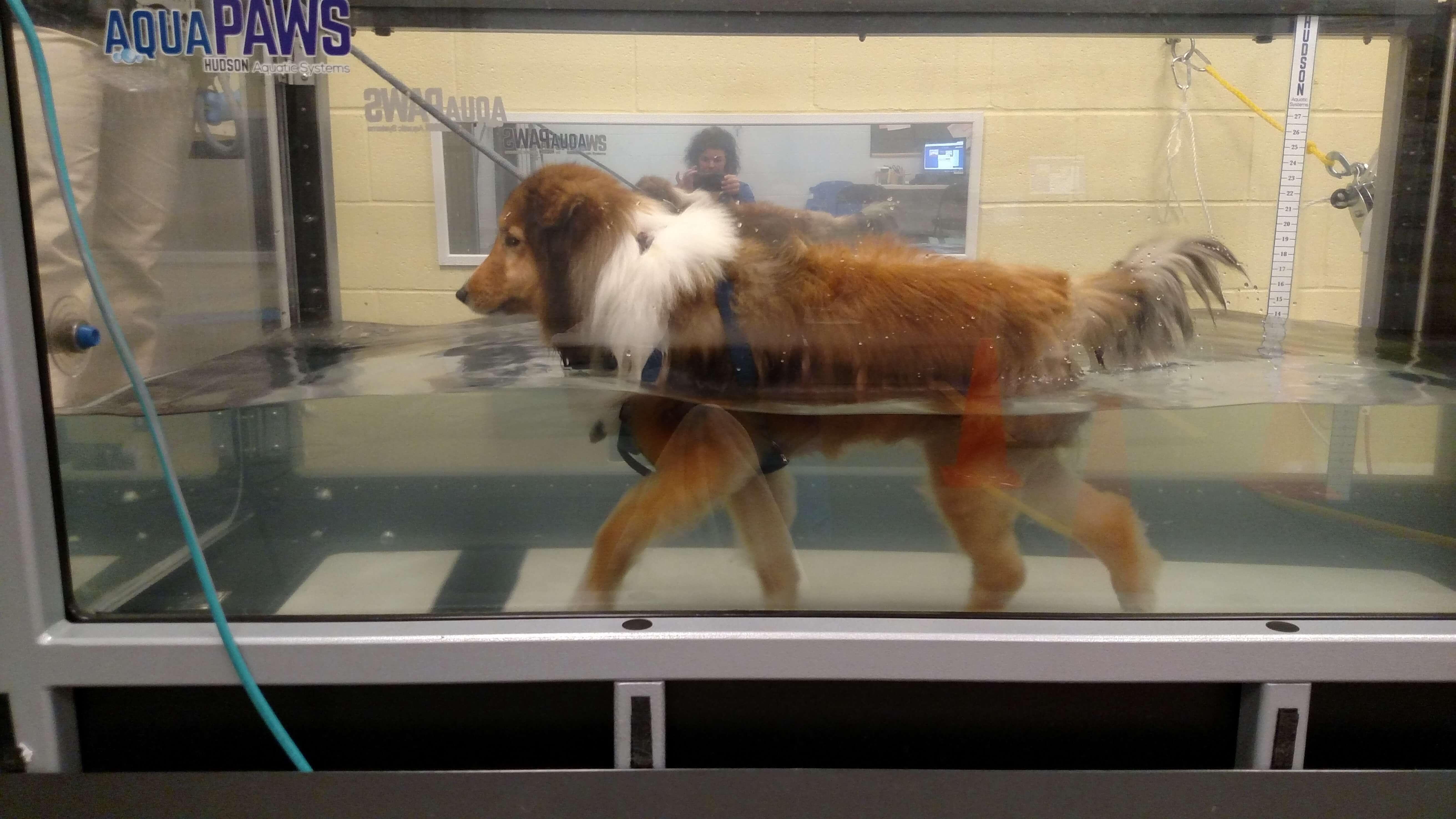hydrotherapy_water treadmill_dog