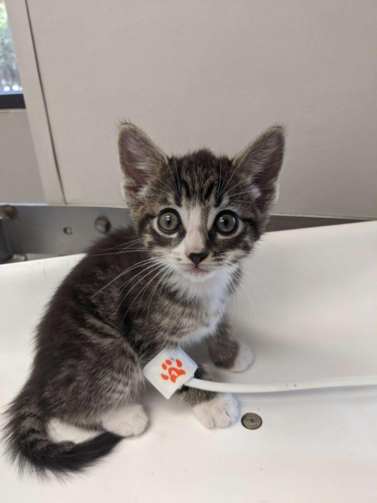 baby gray kitten